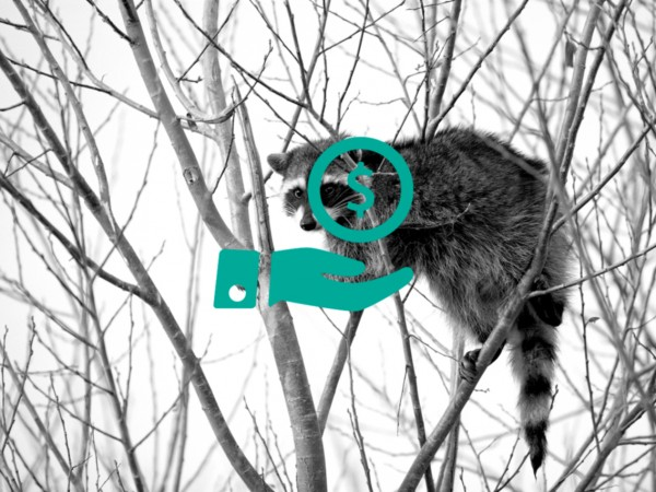 Raccoon_climbing_in_tree